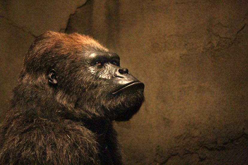 Tom Woodruff Jr. playing Bernie the Gorilla in ZOOKEEPER (2011)