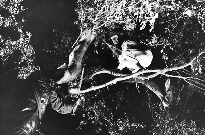 Bobby Porter as Cornelius gets cornered up in a tree by General Aldo in a climactic scene from BATTLE FOR THE PLANET OF THE APES.